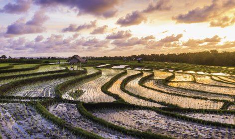 Bali risaie